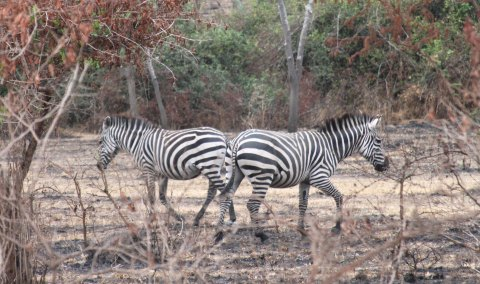 Image 4 Zebras at Lake Mboro Park